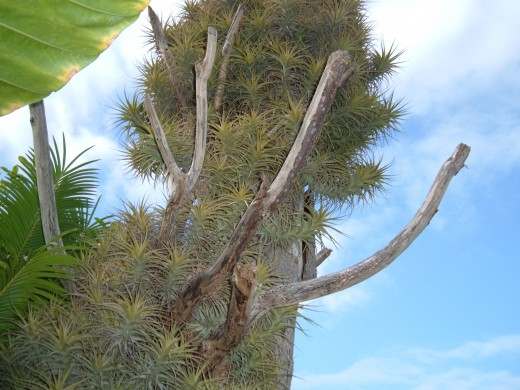 Tillandsia aeranthos growing on a dead tree in Tenerife