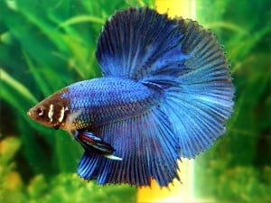 Betta Splendens - Half Moon