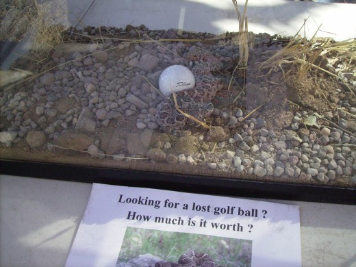 An exhibit warning golfers to check before reaching into the bushes to retrieve a golf ball (Note the live rattlesnake cuddled up to the right side of the golf ball in the acquarium)