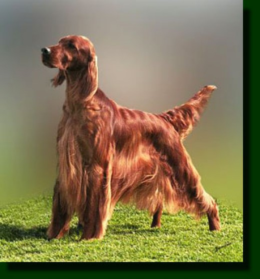 http://dogpile.ca/dog-pictures/images/irish_setter-5.jpg