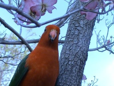 King Parrot in my Garden