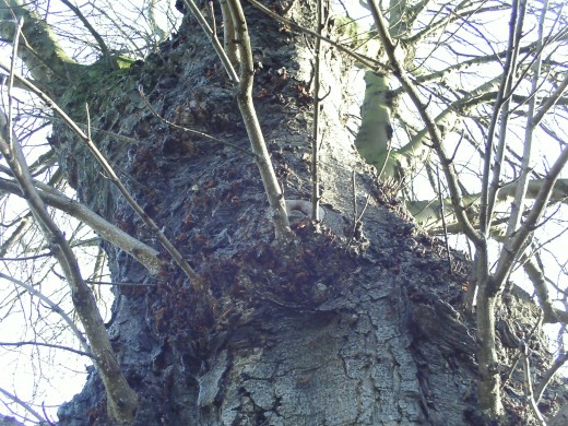 An upwards view of a tree trunk, the angle on this tree suggest the tree is a giant tree.