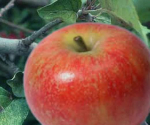 Baldwin Apple.  Image:wikipedia