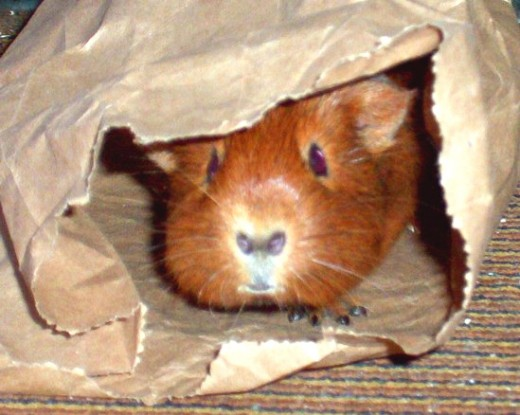 What toys can i give my guinea pig pethelpful piggies think burrowing and nibbling are fun sciox Image collections