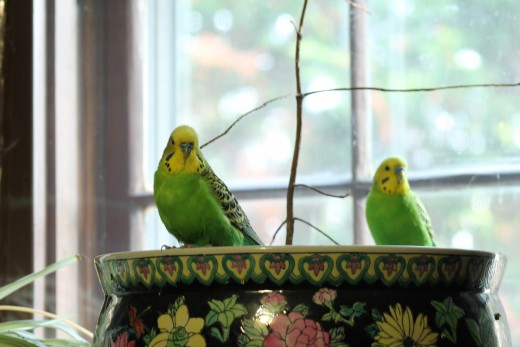 My two parakeets, Henry (left) and Tina. They love to sit by the window and relax after eating their afternoon meal.