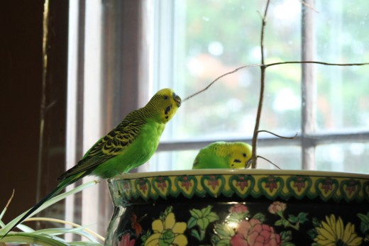 Henry the parakeet nibbles on a branch.