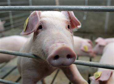 Does this pig deserve to be behind bars?