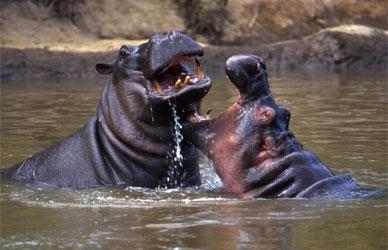 Hippo Greetings