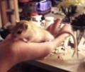 Gerbils Care: About Pet Gerbils