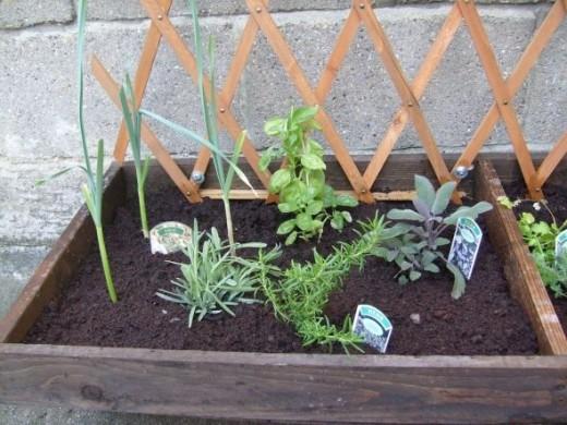 Garlic In Herb Garden