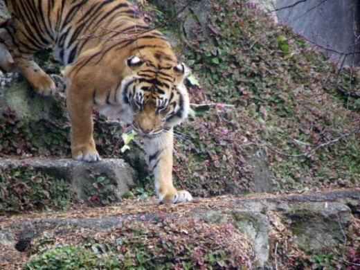 One of the tiger photographs I based my colouring page on