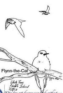White Tern, Norfolk Island