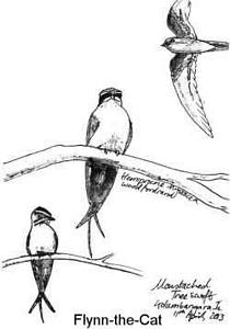 Moustached Tree Swift, Solomon Islands