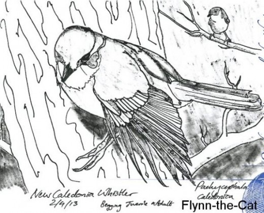 New Caledonia Whistler