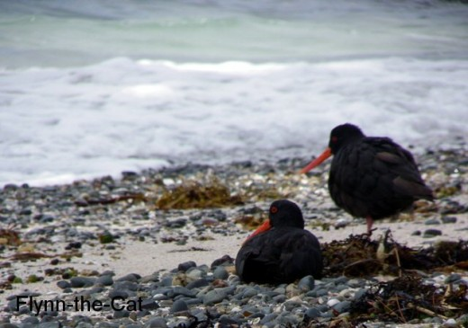 Black Oystercatchers on Hobbs Beach