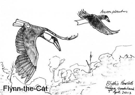 Blyth's Hornbills