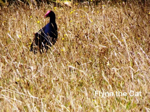 A pukeko hiding in the long grass on the Ridge track