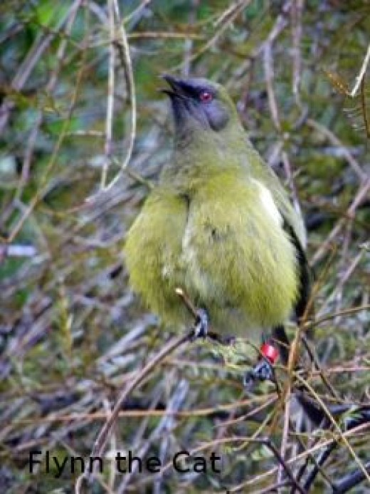 A singing bellbird - a shy bird with a beautiful voice