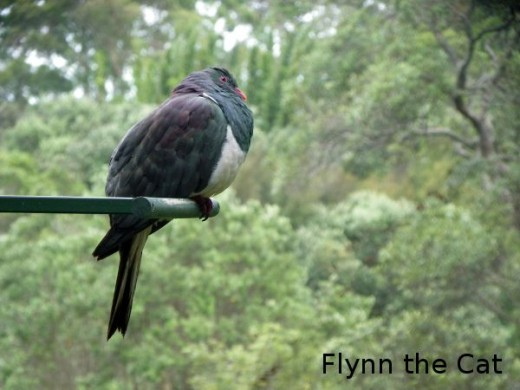 Kereru (New Zealand Wood Pigeon)