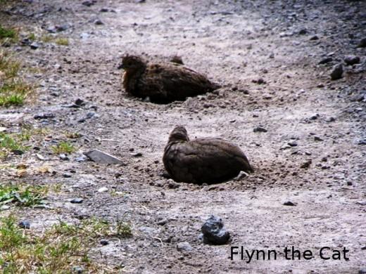 Brown quail, Ngati Paoa track