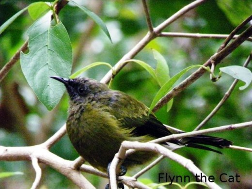 Bellbird, waiting to fly to feeder, Kawerau track