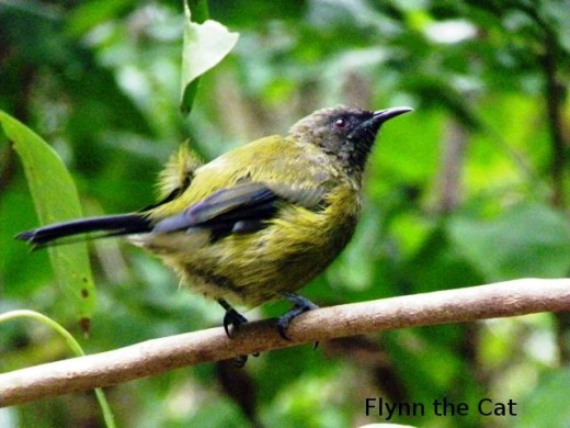 Bellbird waiting for its turn at the Kawerau track feeder