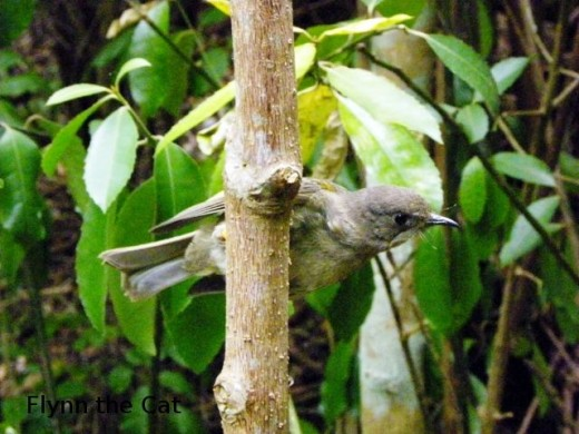 Female stitchbird perched near the feeder, Kawerau track