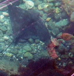 An Eagle Ray - taken through the bottom of the Glass Bottom boat, at Goat Island Marine Reserve, NZ