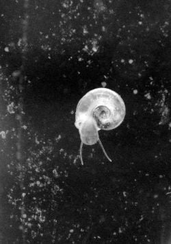 Small water snail