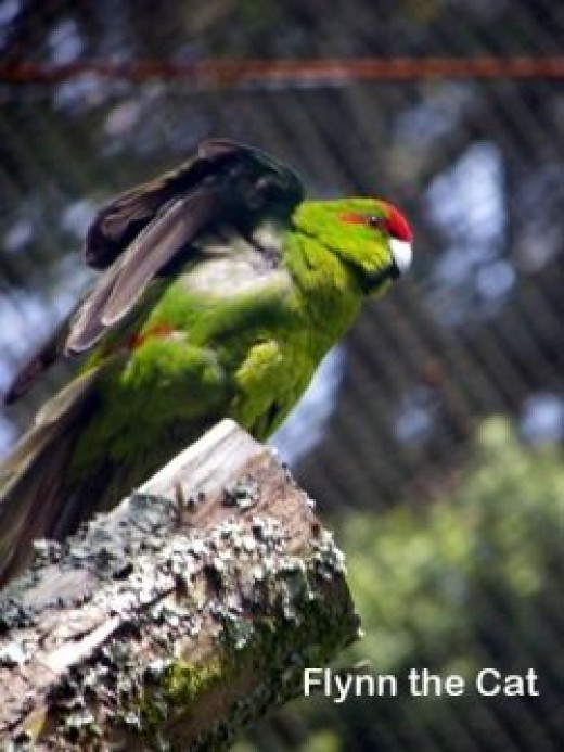 A Red-crowned Parakeet - click through to learn more about Tiritiri's endemic birds