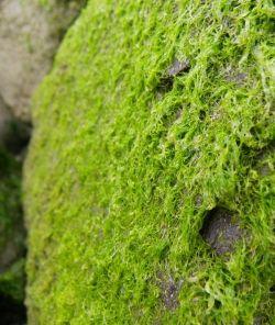 Bright green algae - very slippery when wet!