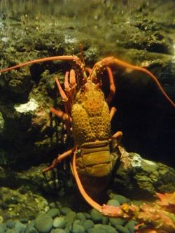 A crayfish - about a foot long