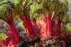 fresh rhubarb shoots