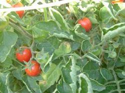 tomatoes, June, 2009