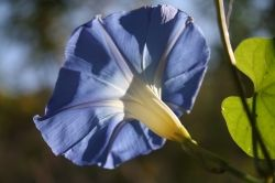 Heavenly Blue Morning Glory