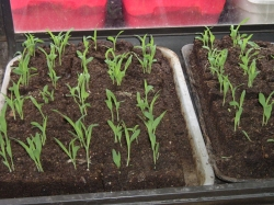 "Broom Corn seedlings in 2"" soil blocks"