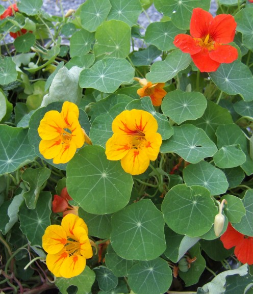 Vivid hot Nasturtiums can tumble from a planter.