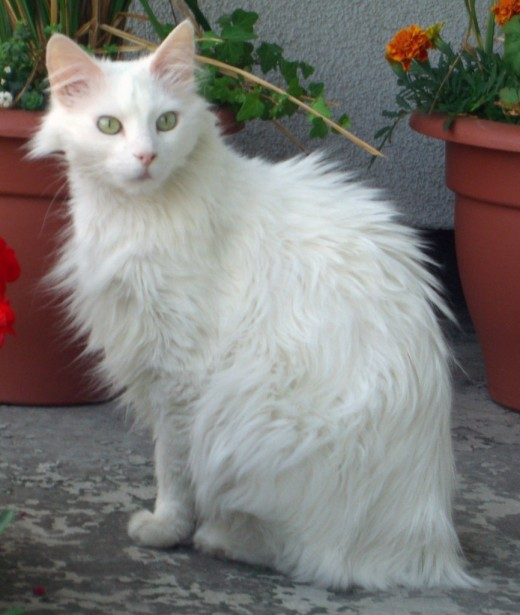 A Turkish Angora cat.