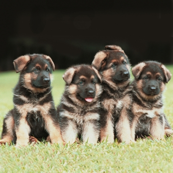 "These German Shepherd puppies are practicing ""sit-stay."""