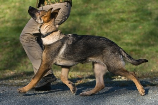 Training a German Shepherd to heel isn't difficult once you cover the basics.
