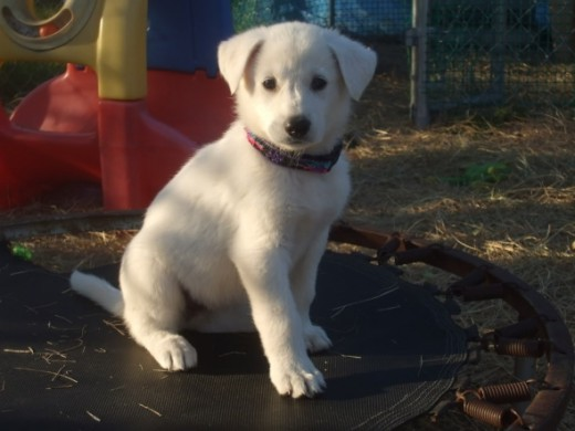 Beautiful white German Shepherd puppy