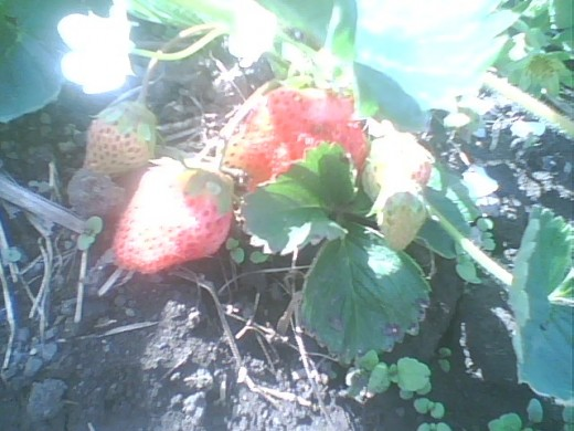 These strawberries are from just ONE side of one plant. They are remarkably fruitful.