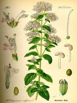 Origanum Vulgare, the source of oil of oregano