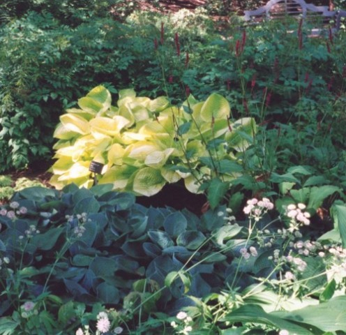 Gold hosta adds a gleam of light to a shady corner.