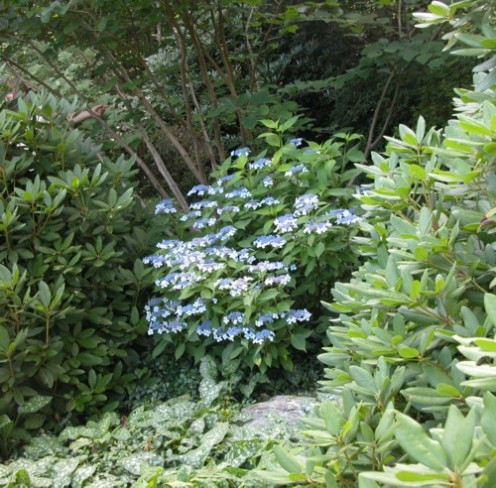 Blue flowering Hydrangea, with rhododendron on the right.