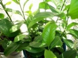 Indoor Citrus Plants