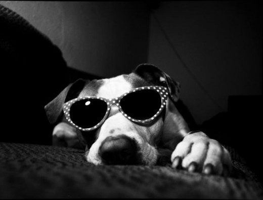 A very patient dog poses in sunglasses