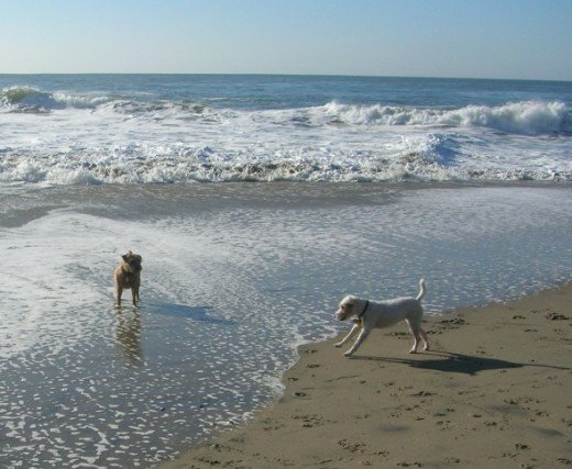 Two small dogs frolic in the waves