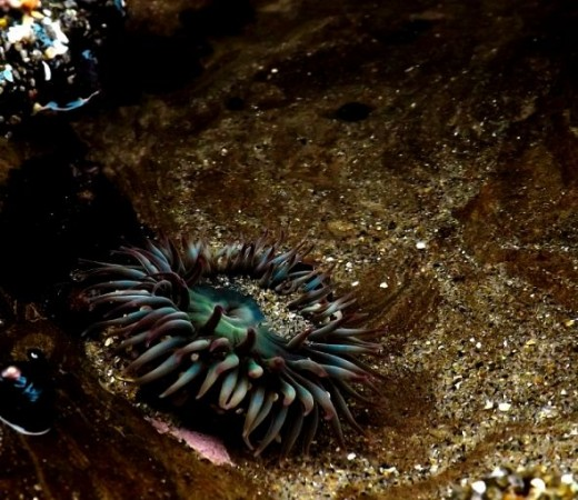 Sea Anemone at Lighthouse Field State Beach