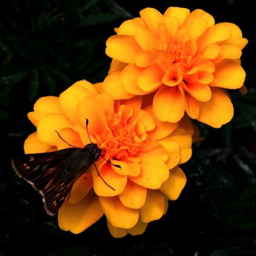 Moth on orange flowers.